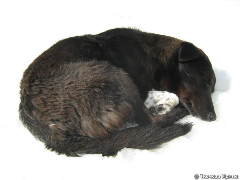 пес Иркиз